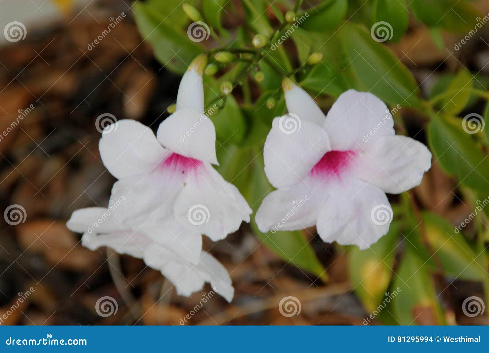 Pandorea Jasminoides Bower Of Beauty Bower Vine Stock Photo