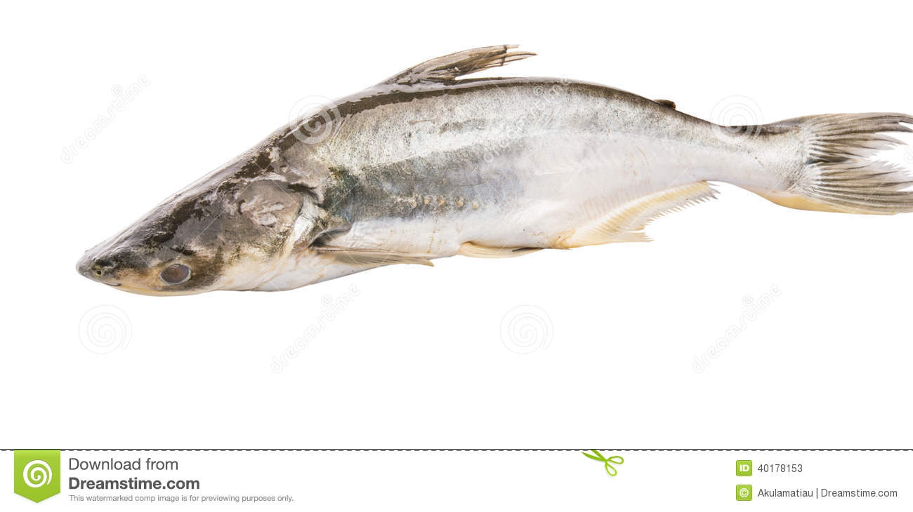 Pangasius sutchi fish iii stock photo image 40178153 for What is pangasius fish