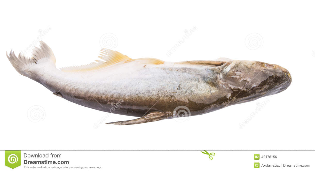 Pangasius sutchi fish iv stock photo image of fishing for What is pangasius fish