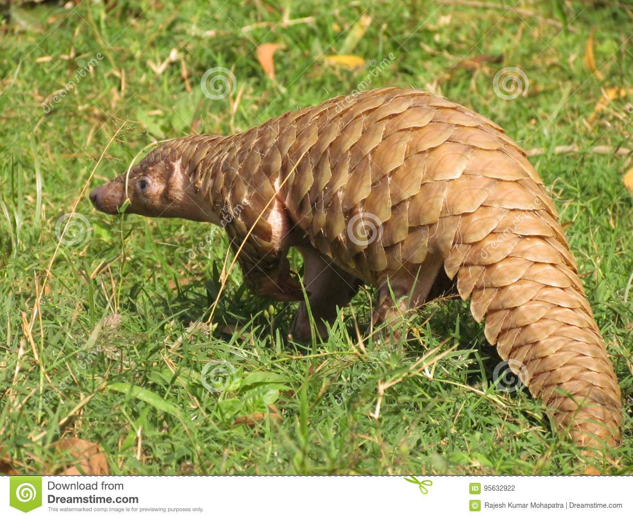 Pangolin indio