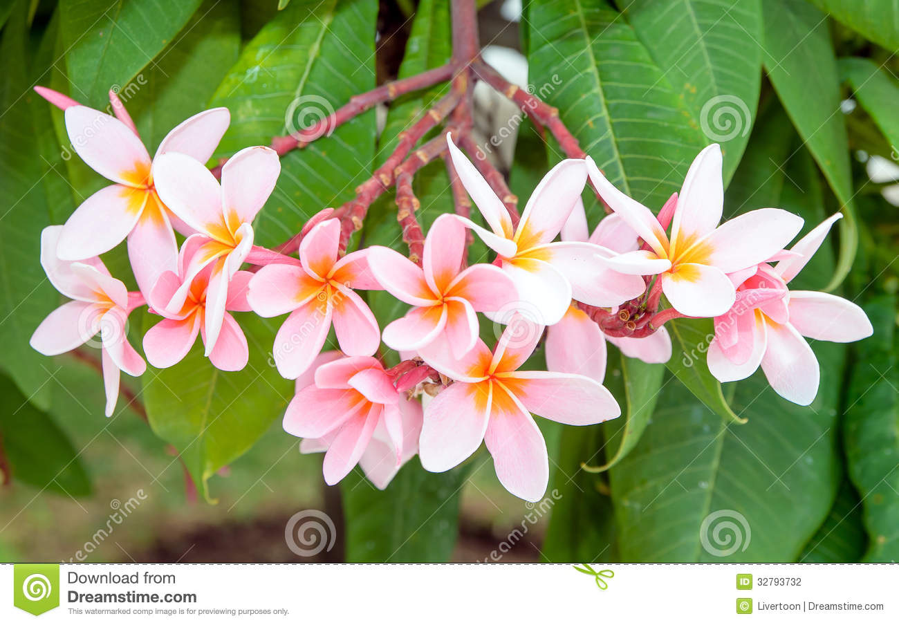 Panicle pink plumeria flowers stock photography image 32793732 pink plumeria dhlflorist Gallery