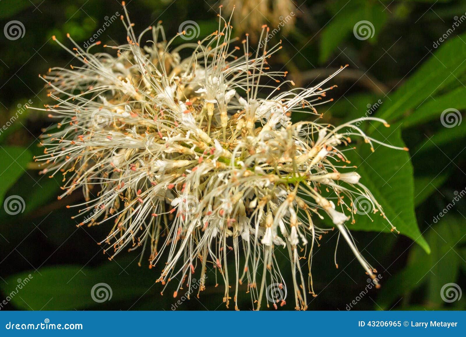 Download Panicle Vanlig Hortensia - Vanlig Hortensiapaniculata Fotografering för Bildbyråer - Bild av green, hydrangea: 43206965