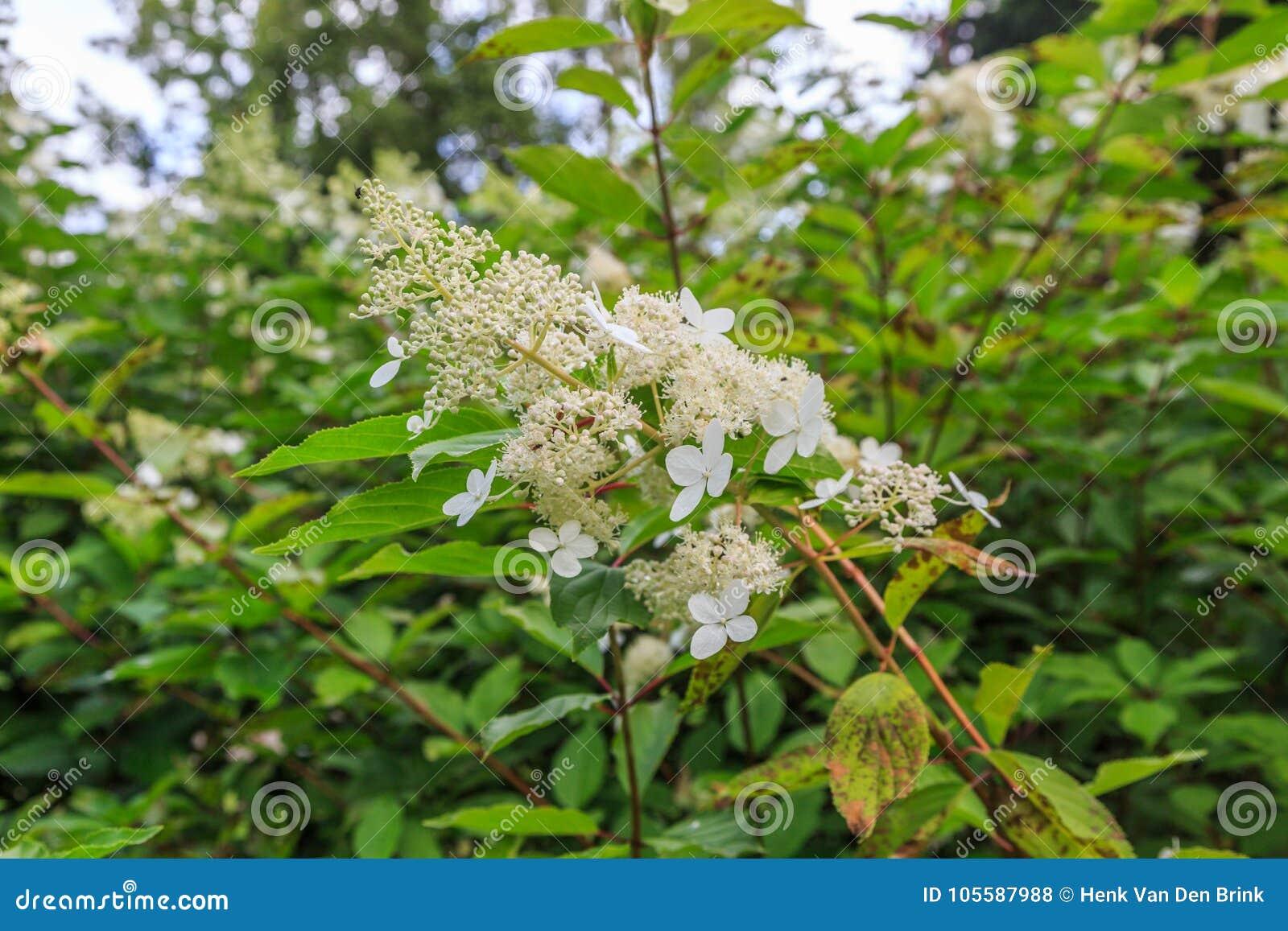 Panicled八仙花属,八仙花属paniculata幽灵花
