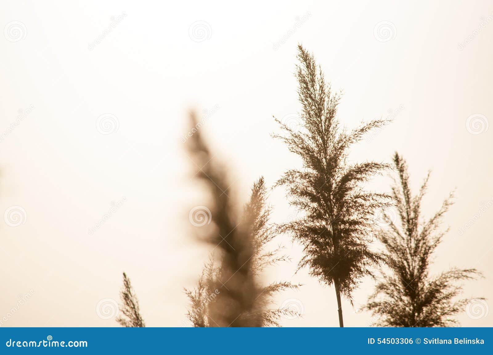 Panicles secs d herbe de buisson sur le fond blanc