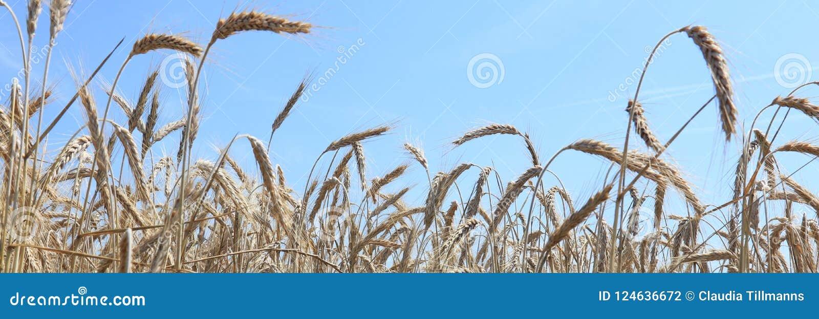 Panorama av korn