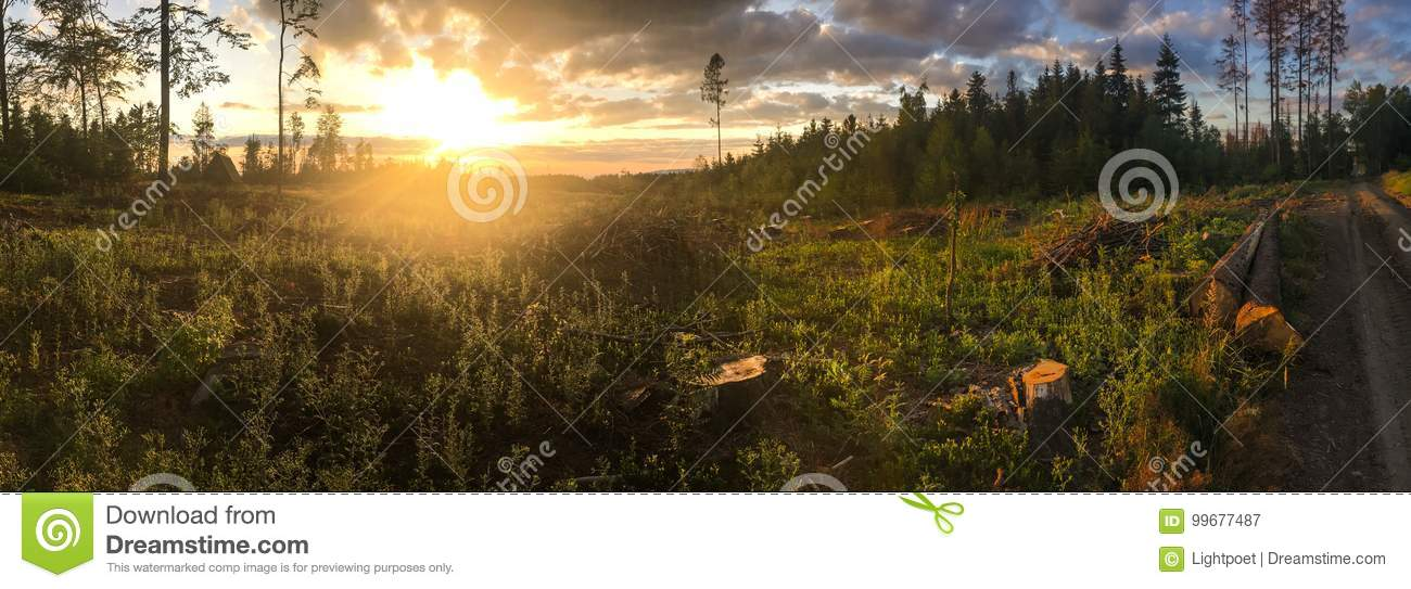 Panorama of a coniferous forest in warm late evening light