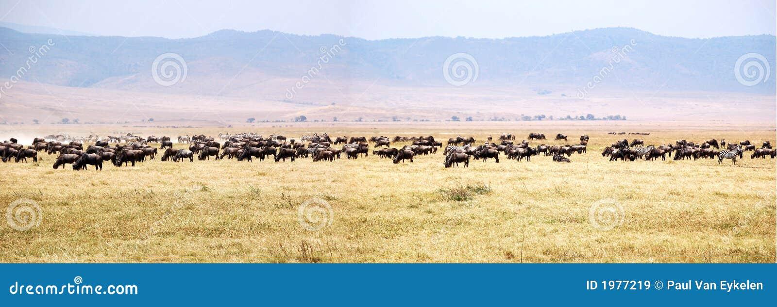 Panorama da migração do Wildebeest