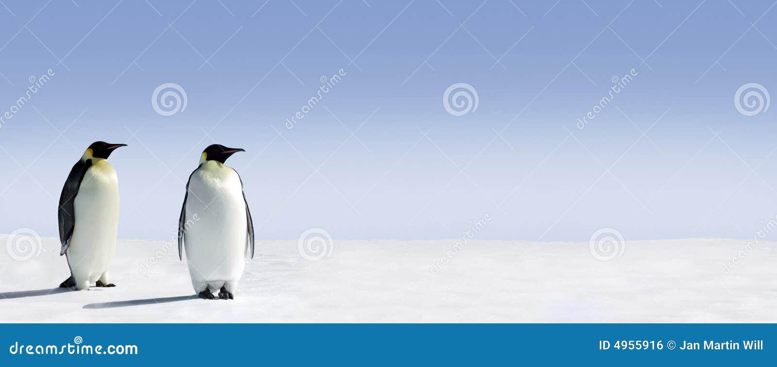 Panorama de dois pinguins