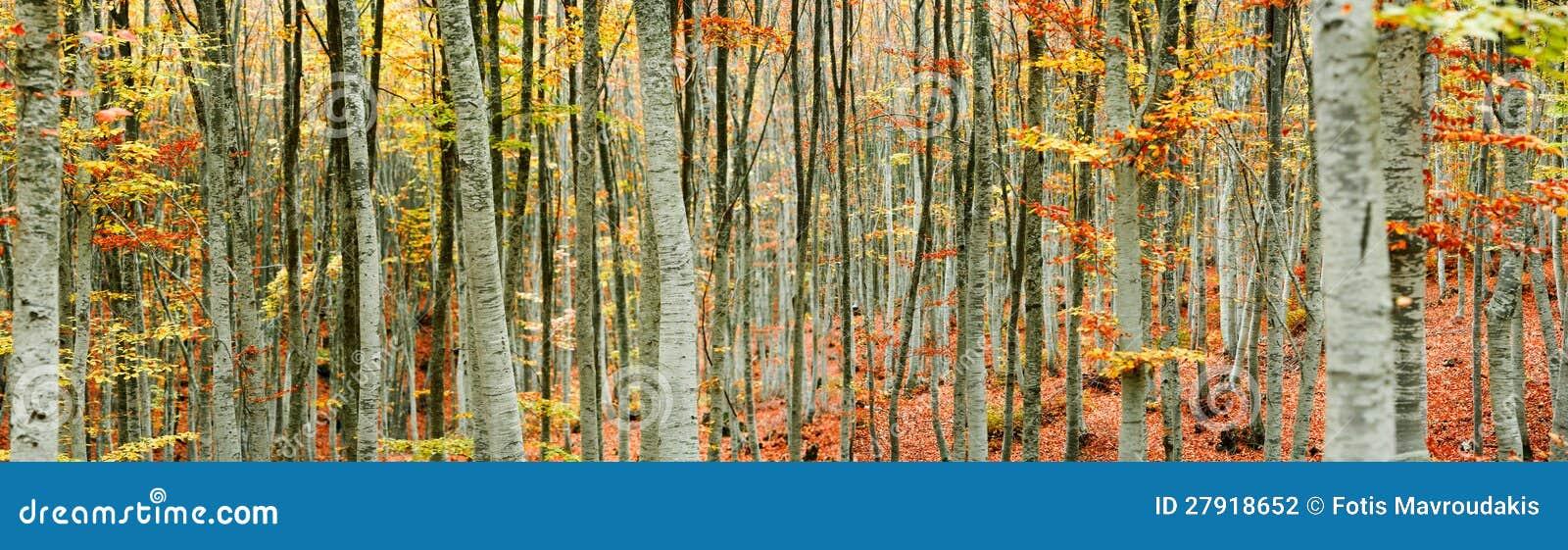 Panorama de forêt d arbre de hêtre