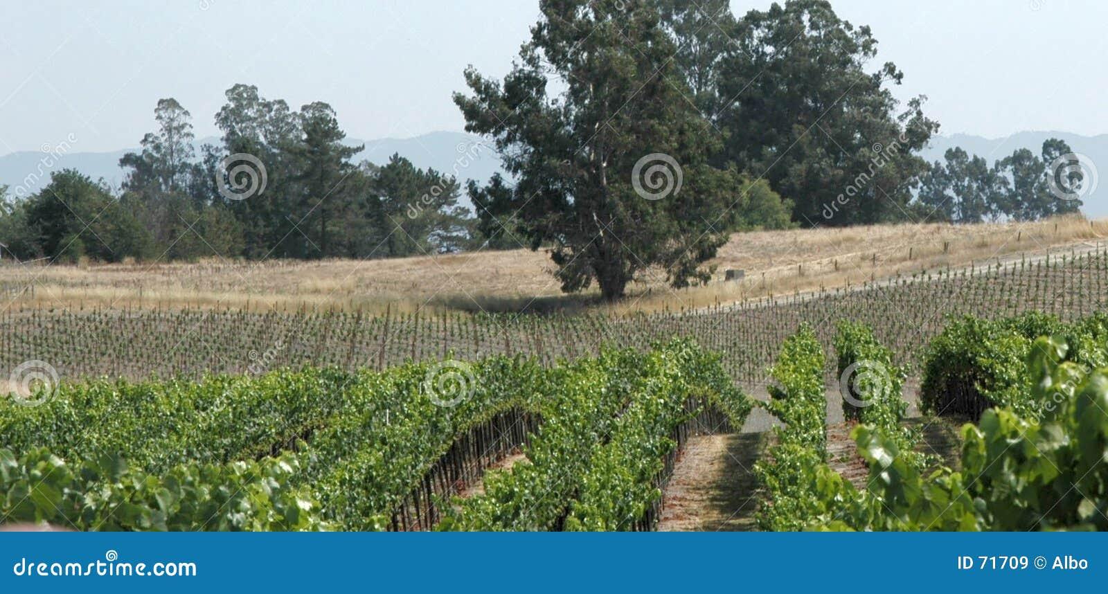 Panorama de los viñedos