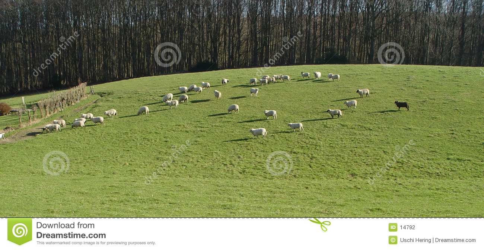 Panorama de moutons noirs