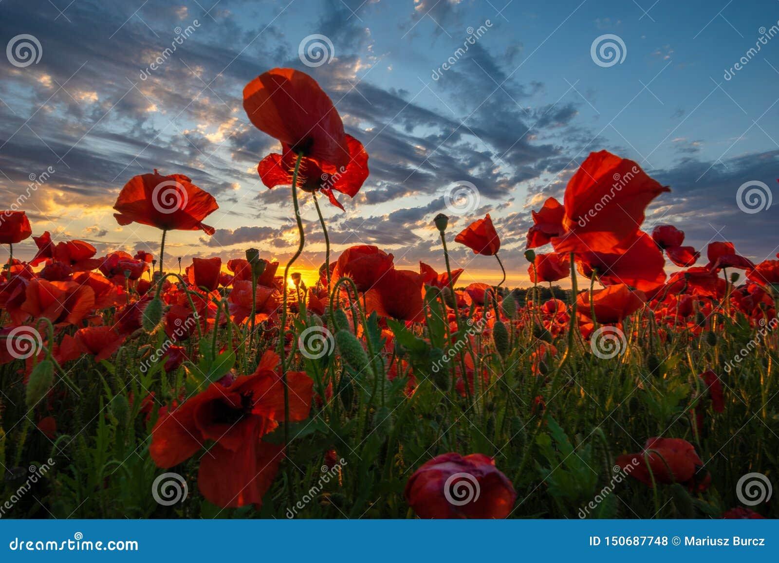 Panorama de un campo de amapolas rojas