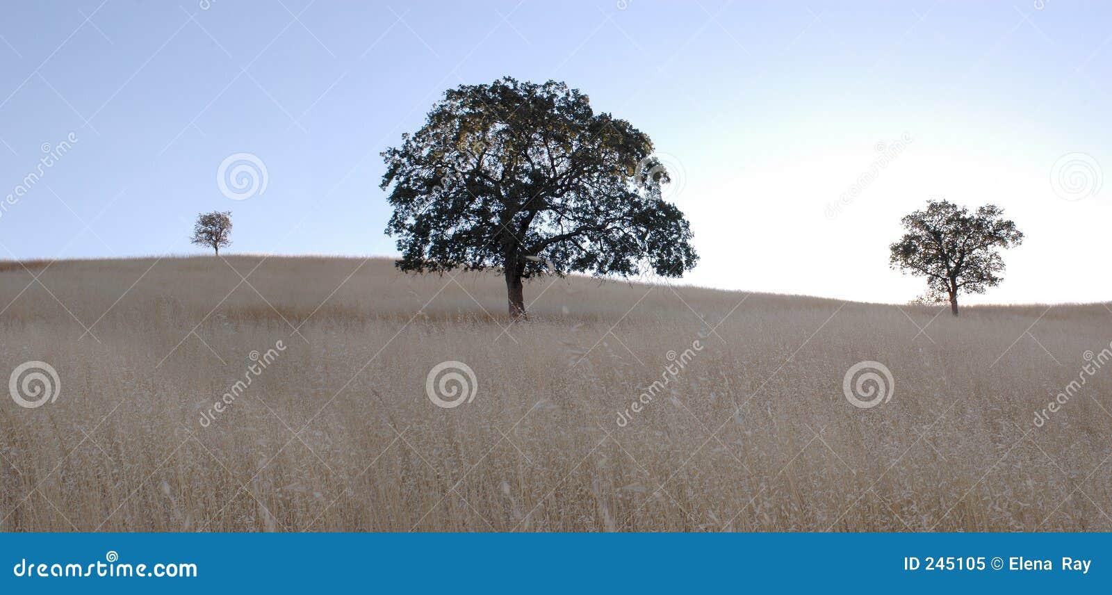 Panorama dell albero di quercia