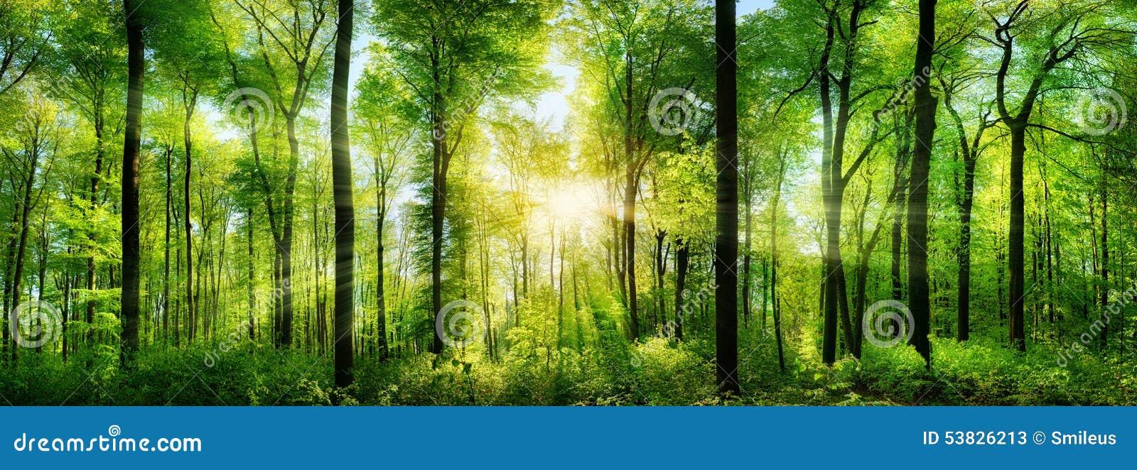 Panorama della foresta con i raggi di luce solare