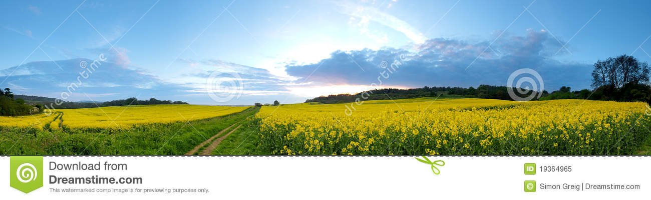 Panorama do campo do Rapeseed