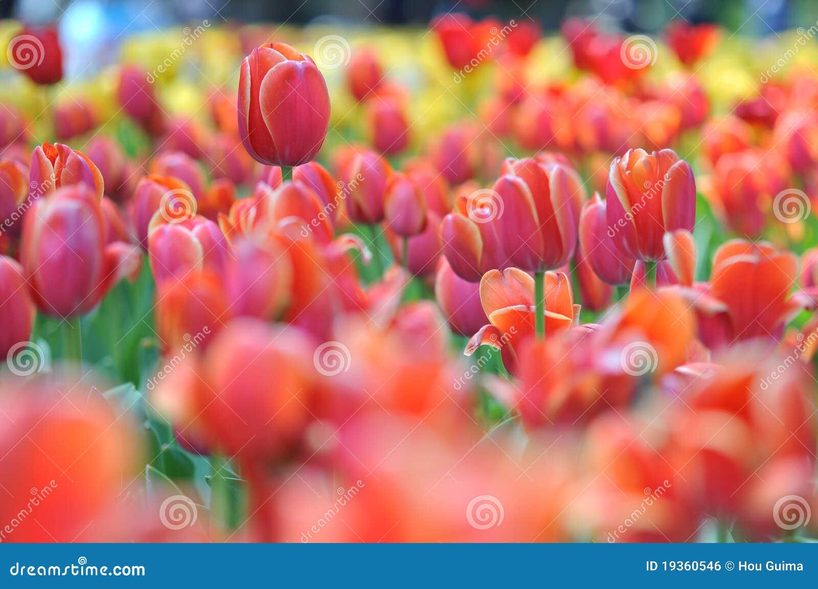 Panorama do campo dos Tulips