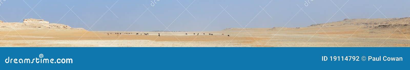 Panorama för kamelökenflock