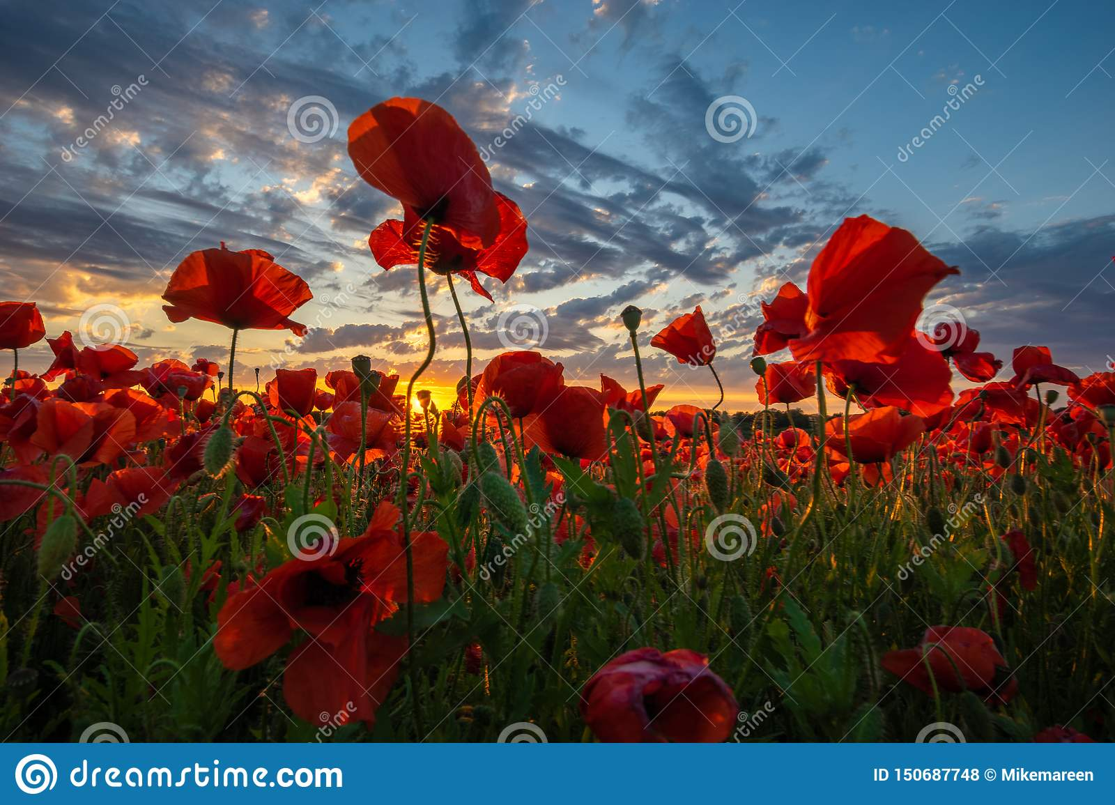 Panorama of a field of red poppies