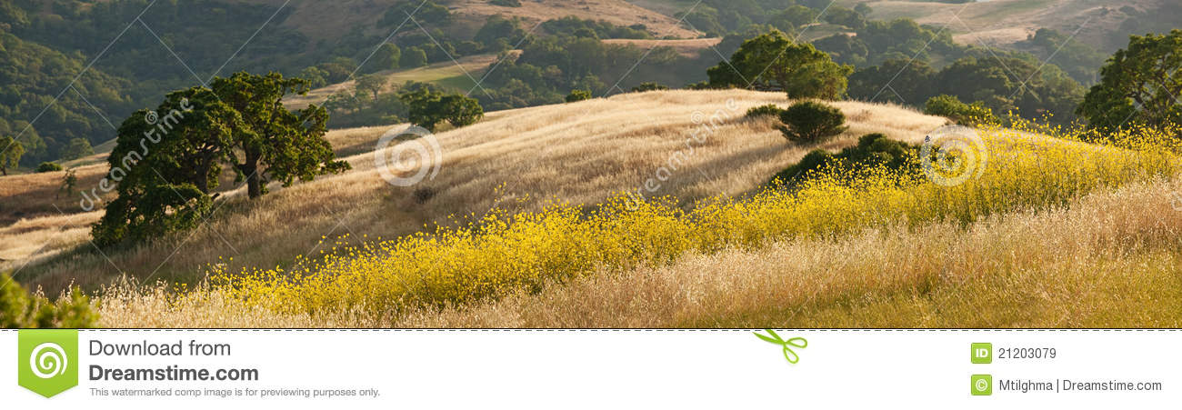 Panorama of golden California hills and mustard