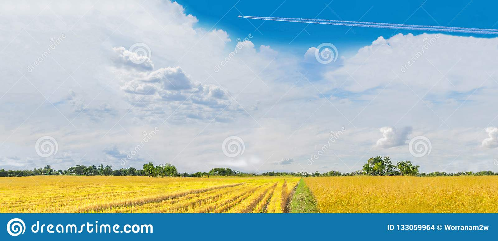 Panorama Harvest Season, Semi Harvest Of Paddy Rice Fie Stock Photo