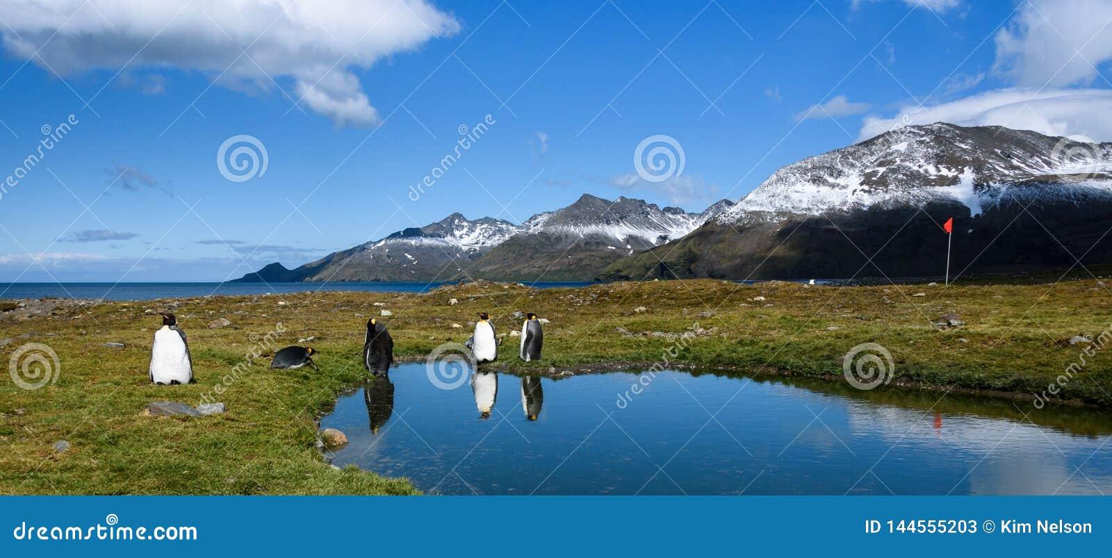 Panorama met Koning Penguins die zich op de rand van een kalme vijver bevinden, met bezinningen, rode gidsvlag op een pool, zonni