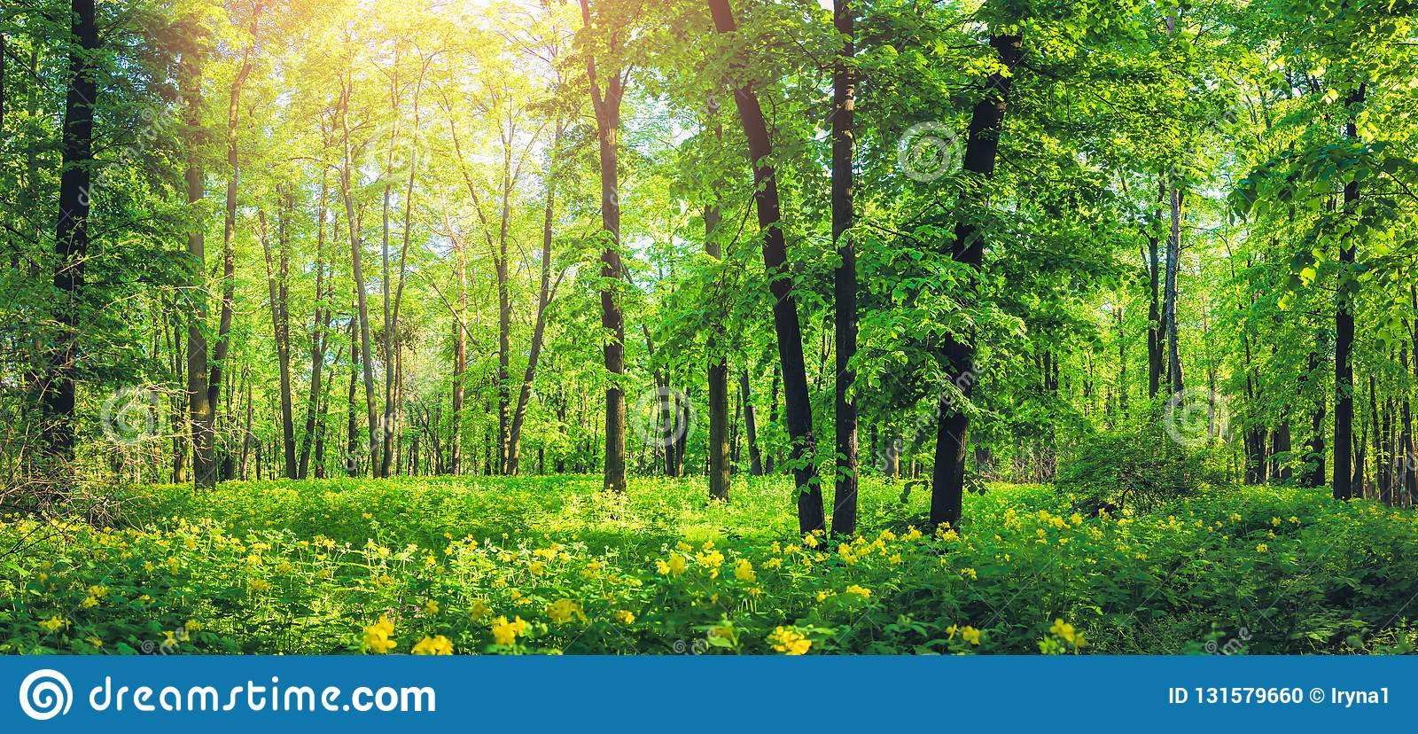Panorama piękny zielony las w lecie Natury sceneria z żółtymi dzikimi kwiatami