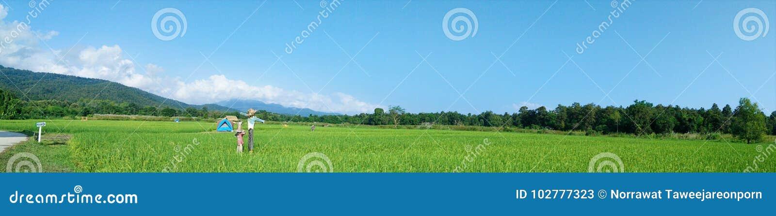 Panorama rural da paisagem com campos verdes do arroz