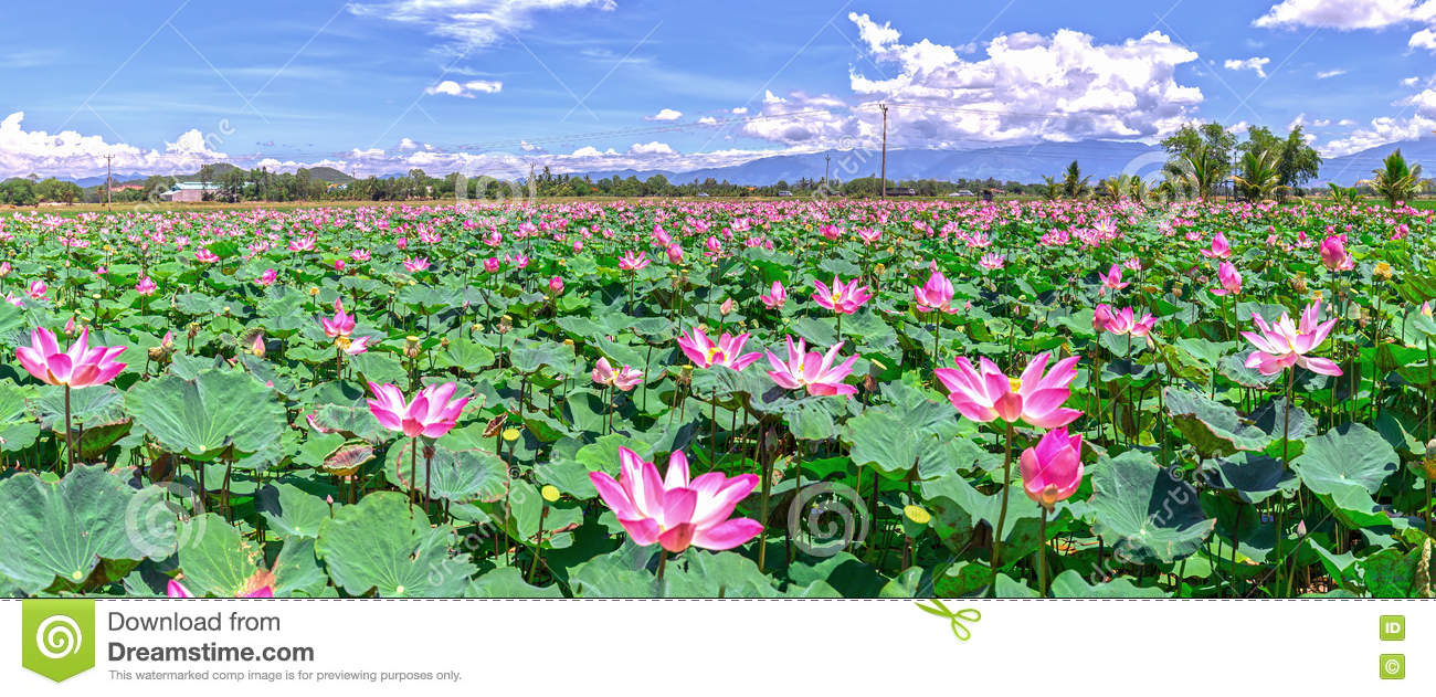Panorama Selective Focus Blurred Lotus Blooming Stock Photo Image