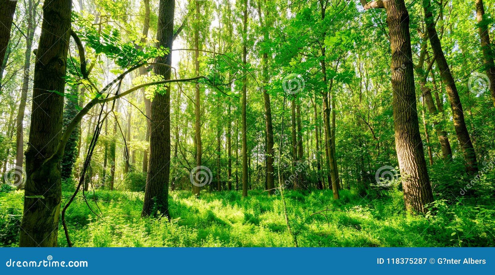 Panorama- skog