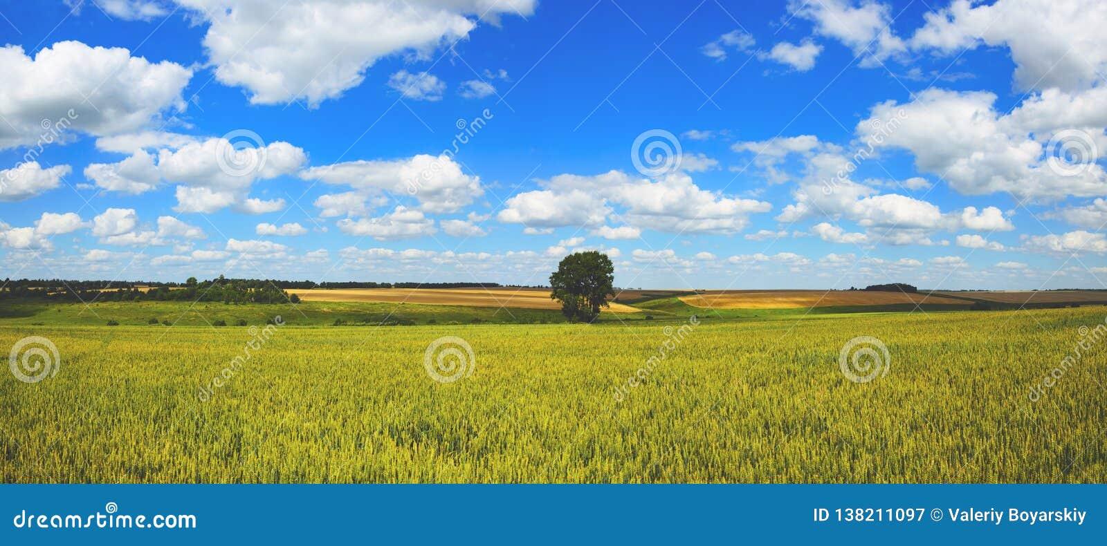 Panorama soleado del verano con los campos de trigo y el árbol creciente solo en un cielo azul del fondo con las nubes blancas br