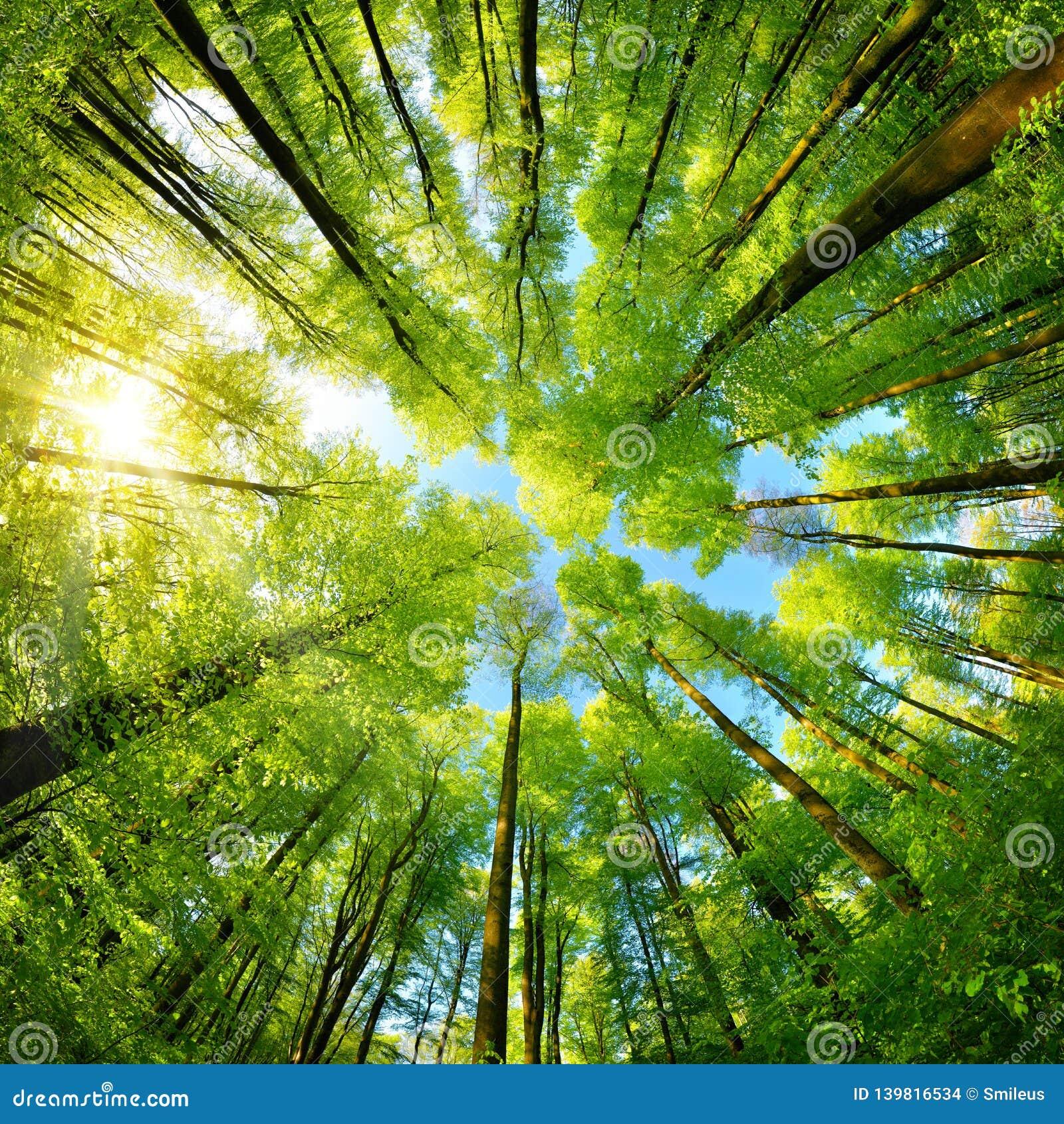 Panorama Spheric in una foresta, vista ascendente magnifica alle cime d albero