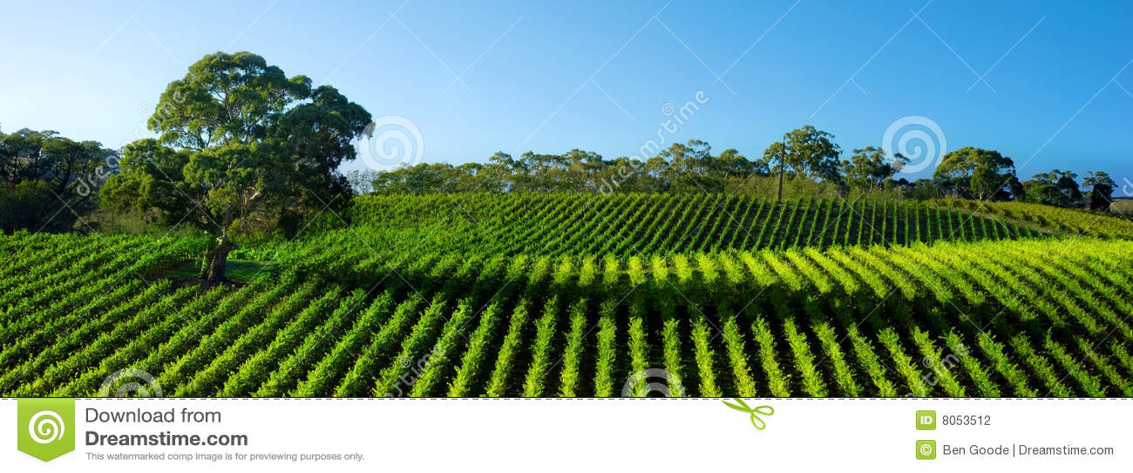 Panorama vívido do vinhedo