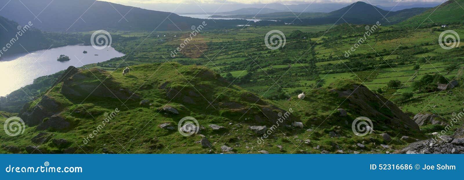 Panorama van geiten die in Healy Pass, Cork, Ierland weiden