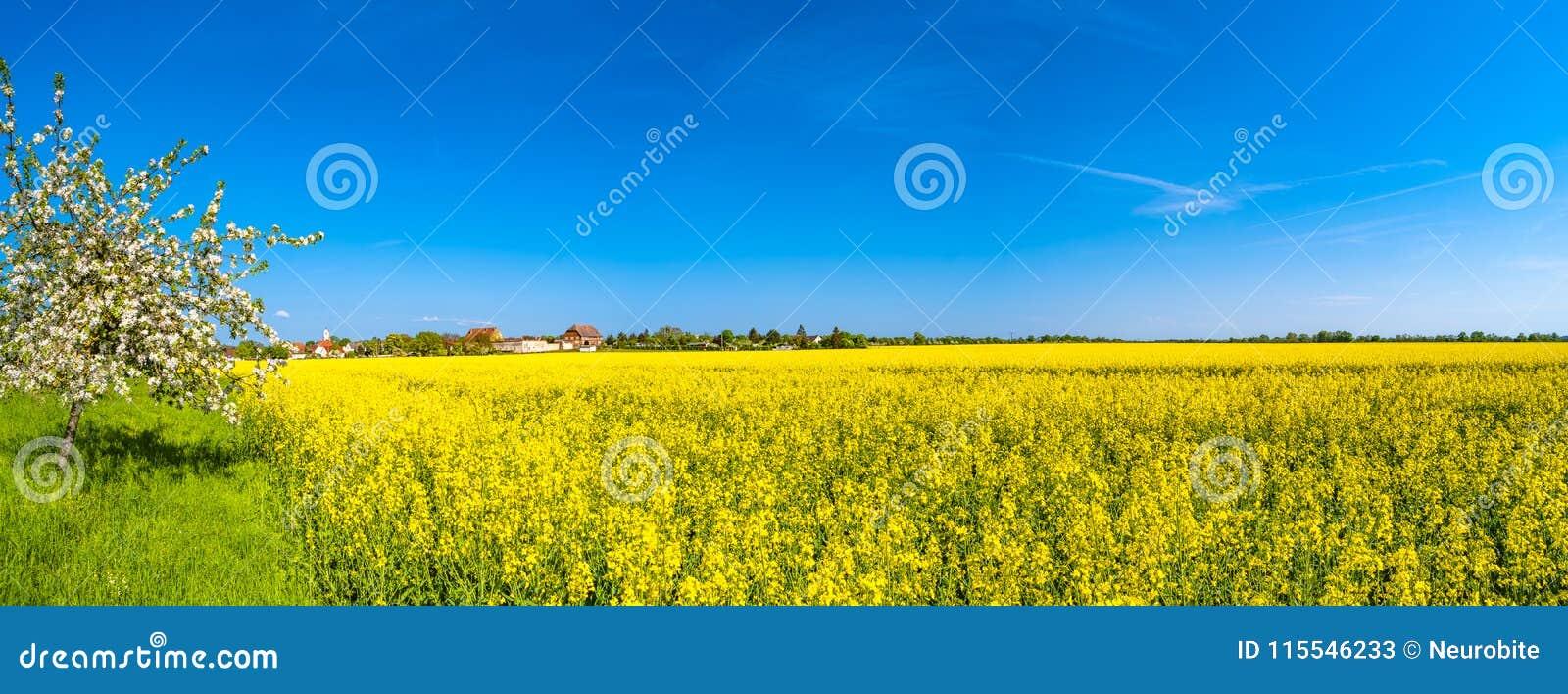 Panorama van mooi landbouwbedrijflandschap van raapzaadgebied binnen