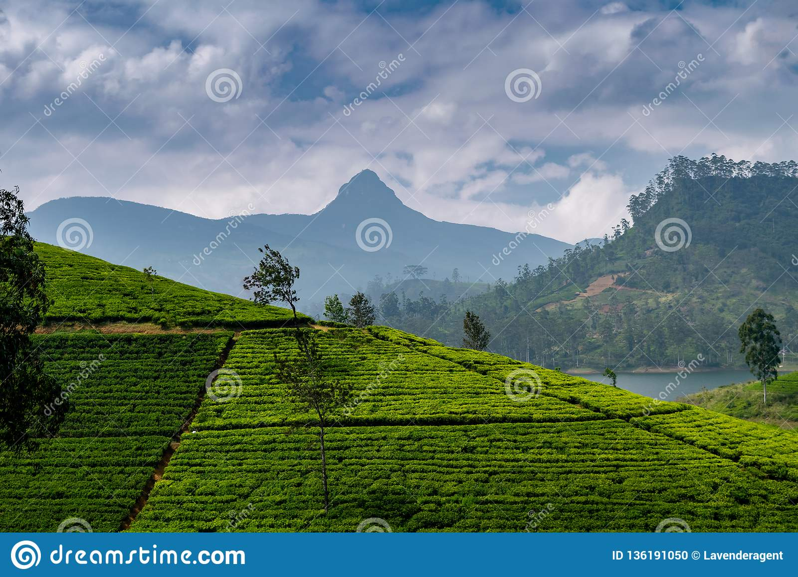 Panorama van theeaanplanting met Adams piek, Sri Lanka