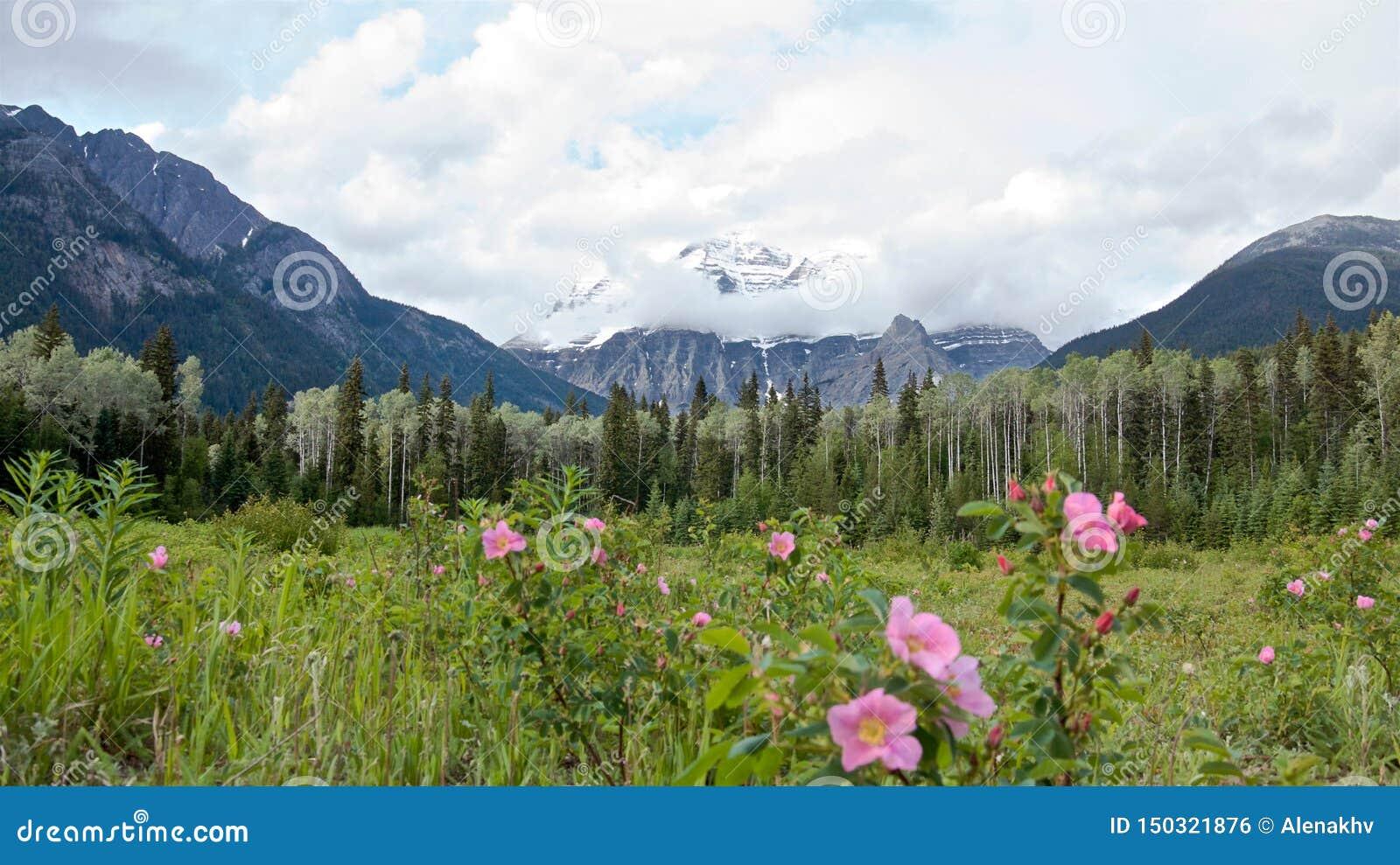 Panoramautsikt av det sceniska Robson berget, pinjeskogen och de lösa rosa buskarna i sommaren,