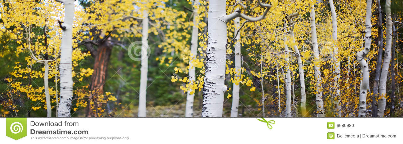 Panoramic of aspen trees