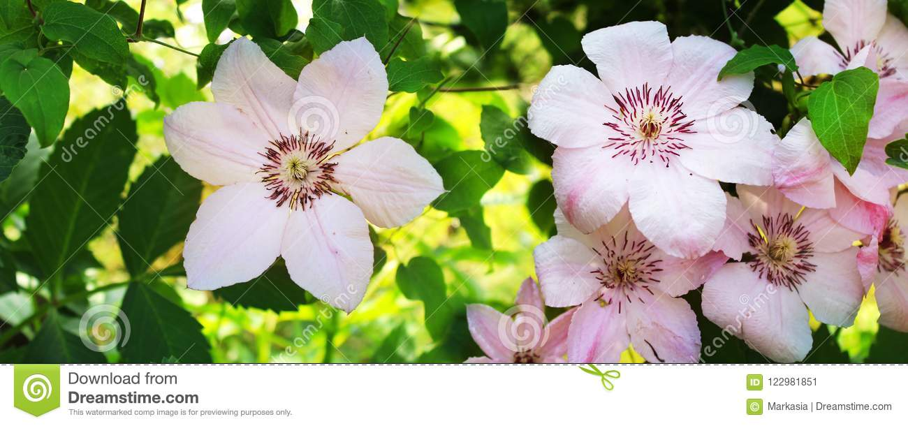 Panoramic Image Of Pink Flowers On A Green Stock Image Image Of