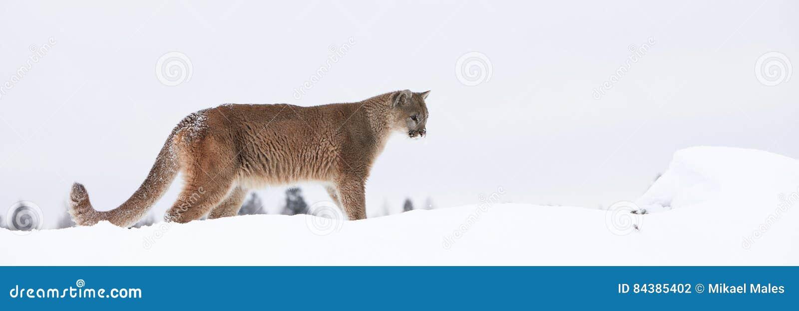 Mountain Lion Ledge Stock Photos - Download 70 Royalty ...