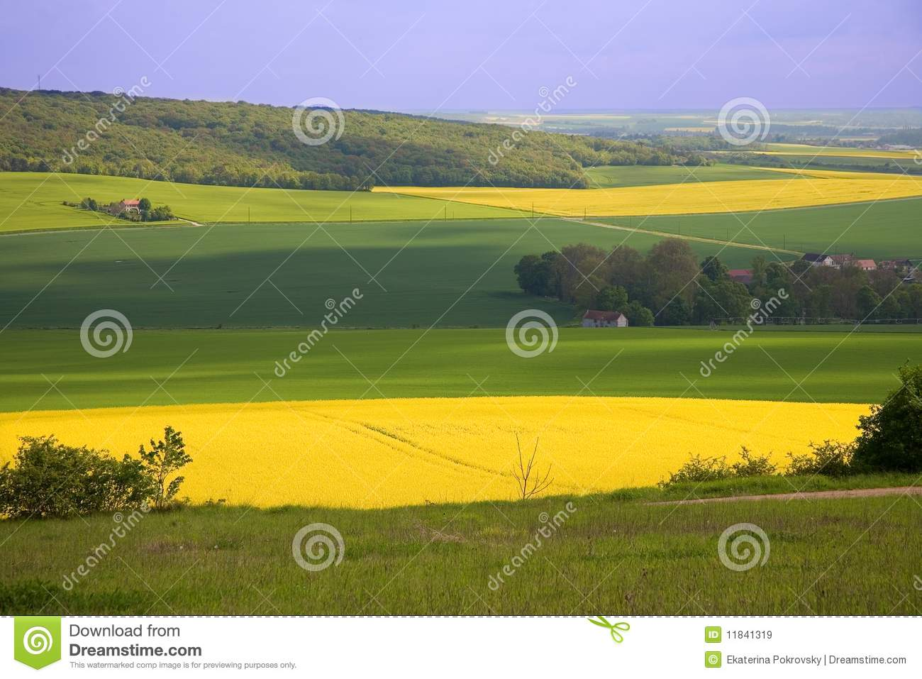 Panoramic view of rapeseed field