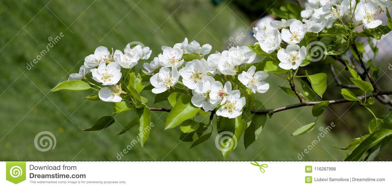Panoramic View Of White Flowers On A Background Of Greenery Spring