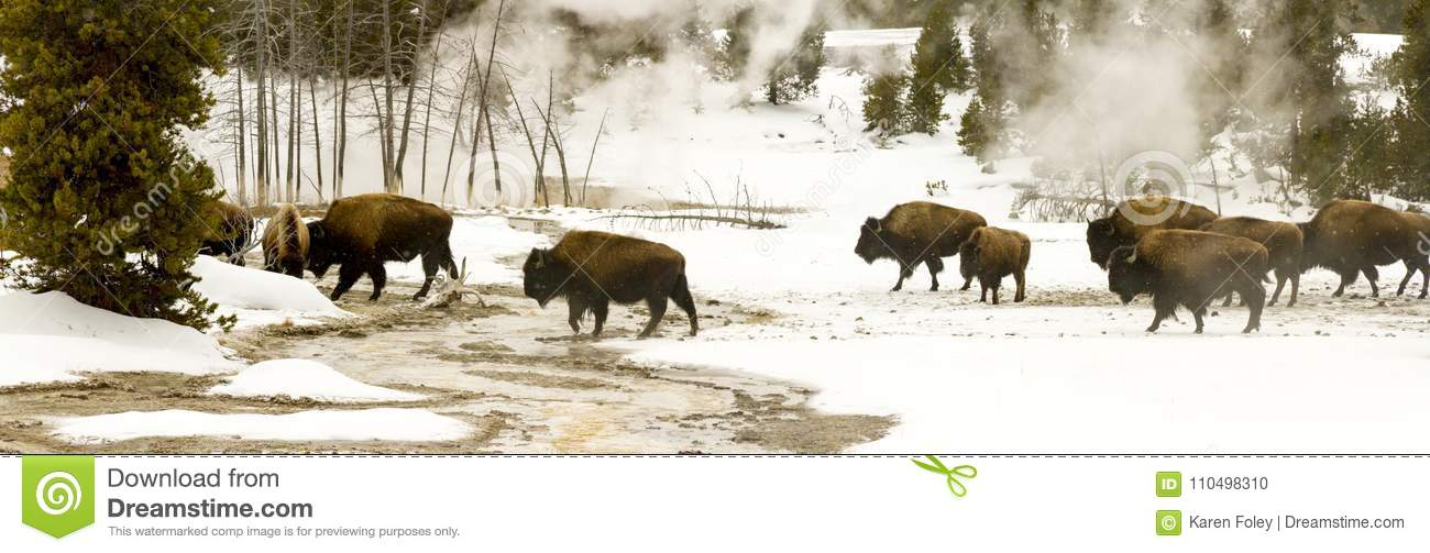Panoramic vista of herd of bison or American buffalo in Upper Ge