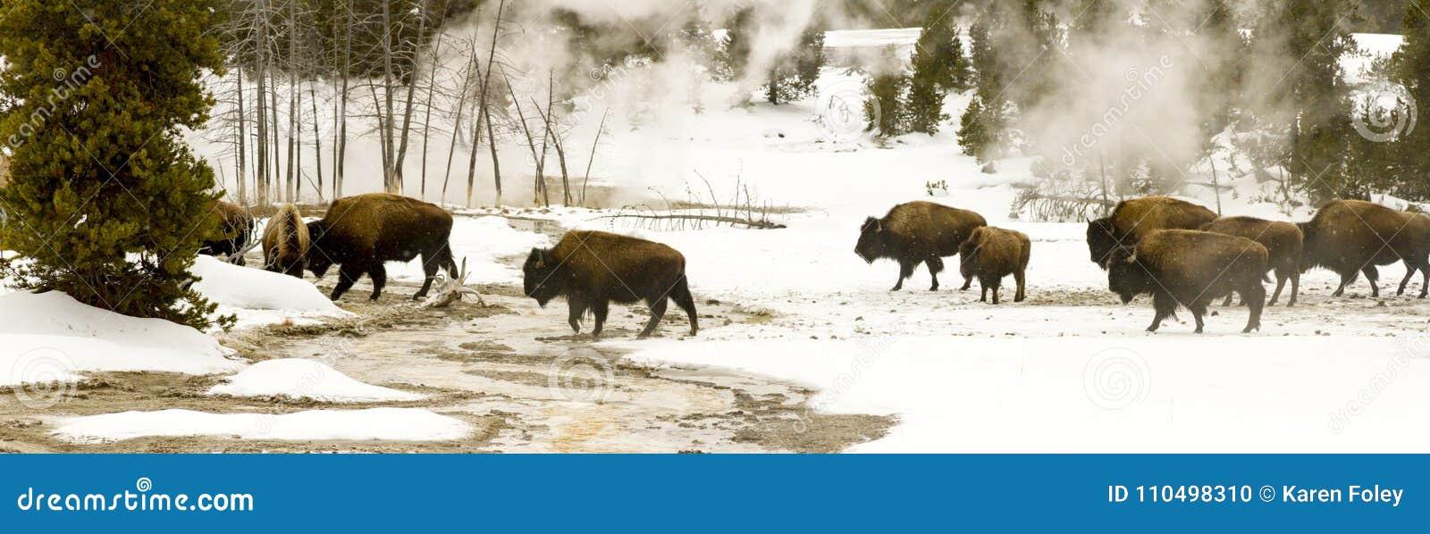 Panoramiczny dukt stado żubr lub amerykanina bizon w wierzchu Ge