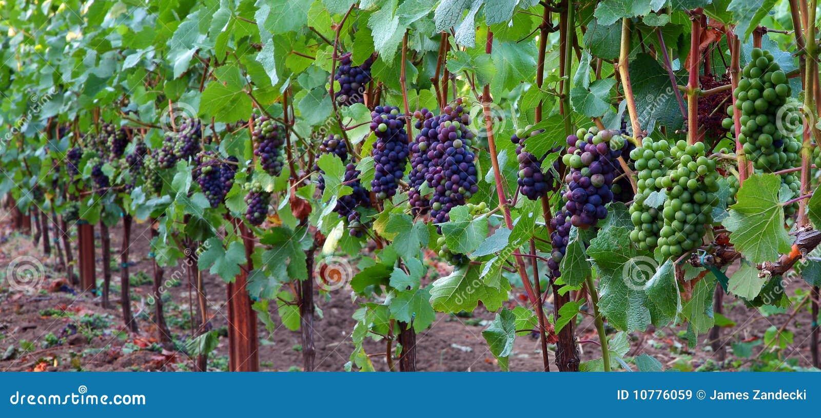 Panoramisch van de Druiven van de Pinot Noir