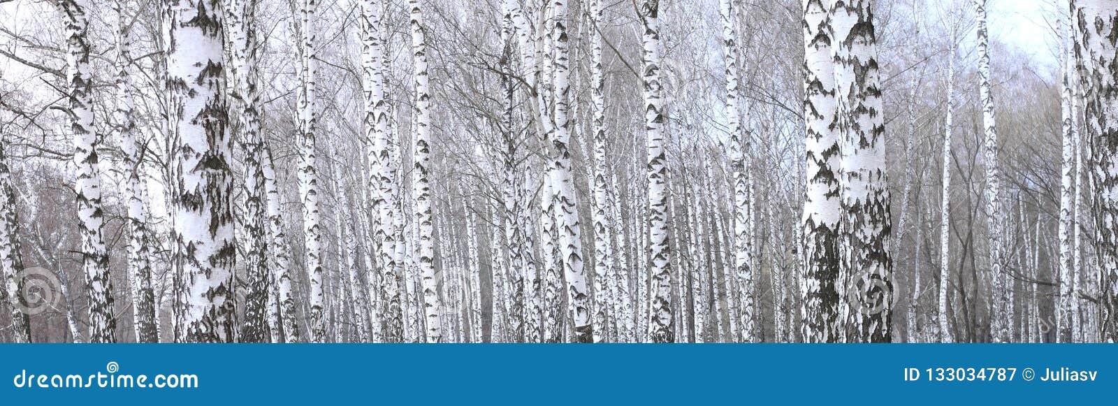 Panoramisches Foto der schönen Szene mit Birken im Herbstbirkenwald im November