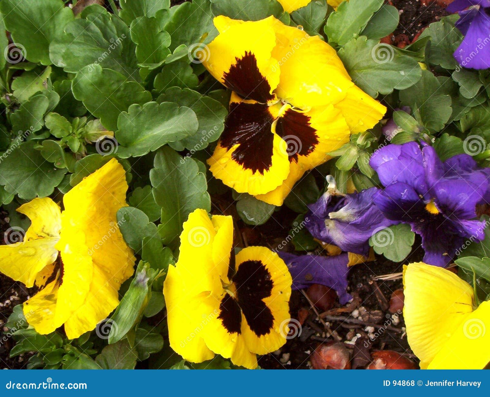 Pansies πορφυρός κίτρινος