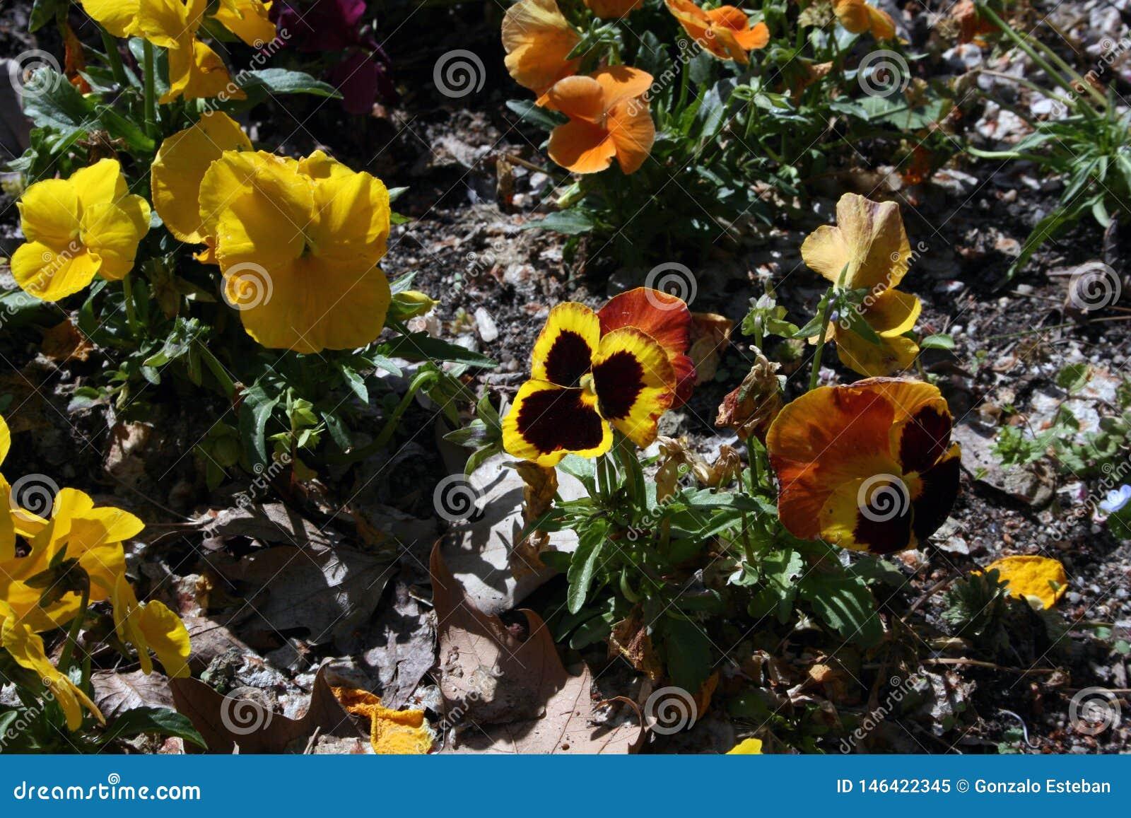 Pansies, de de winterbloem