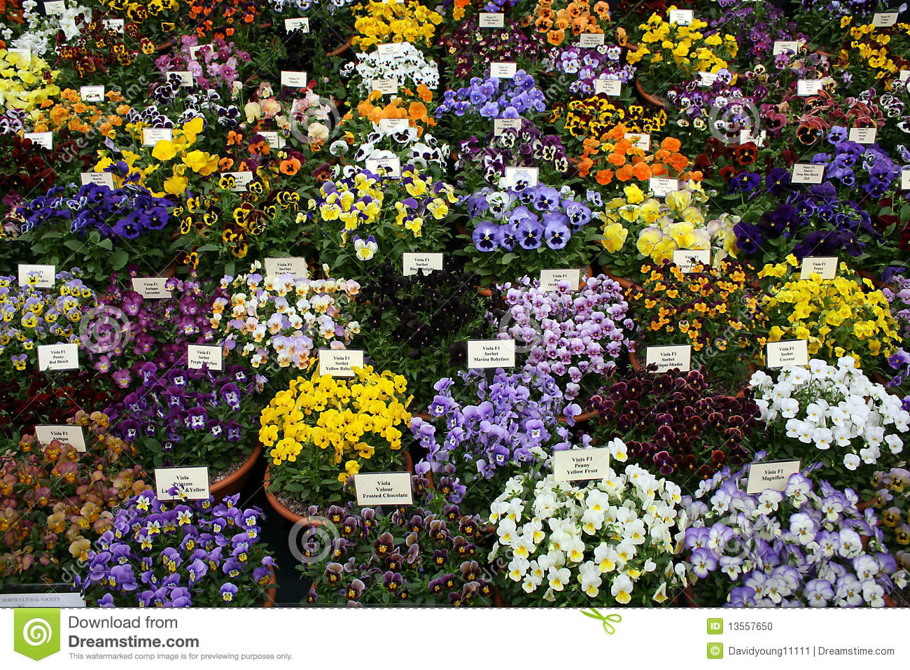 Pansies on display at chelsea flower show stock photo image 13557650 - Royal flower show ...