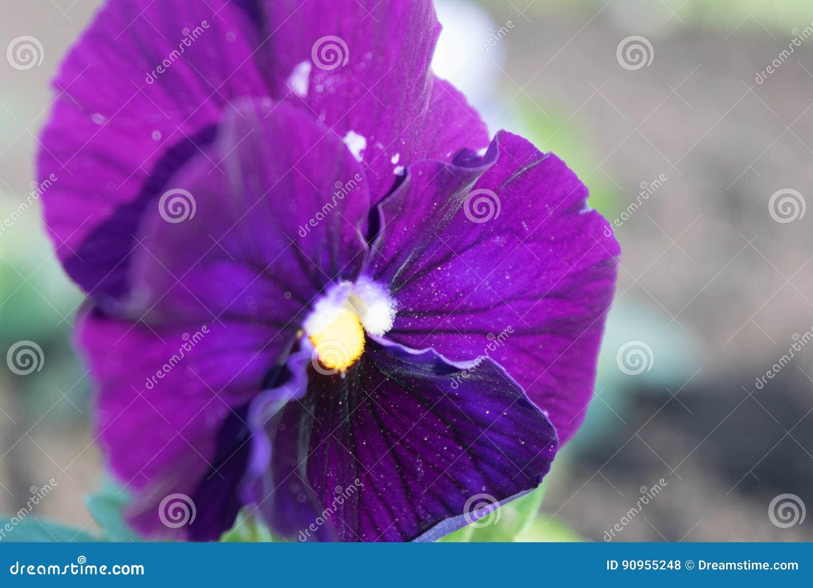 Pansies, fólio da viola