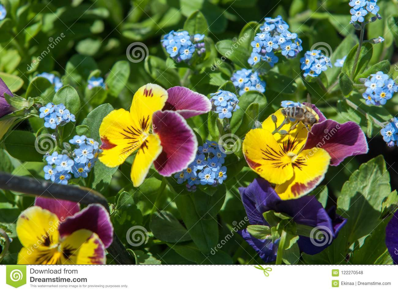 917b19cf pansies. a popular cultivated viola with flowers in rich colors, with both  summer-